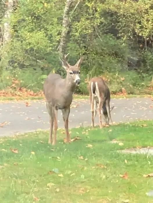 deer alongside the road in the Olympic Peninsula