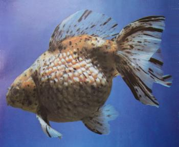 Pearl Scale Goldfish