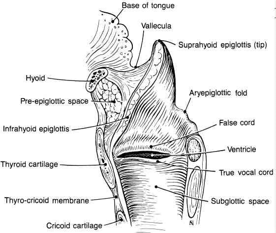 The supraglottic larynx