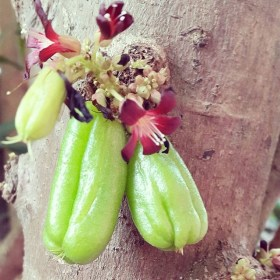 Kamias Fruit Cluster on Tree
