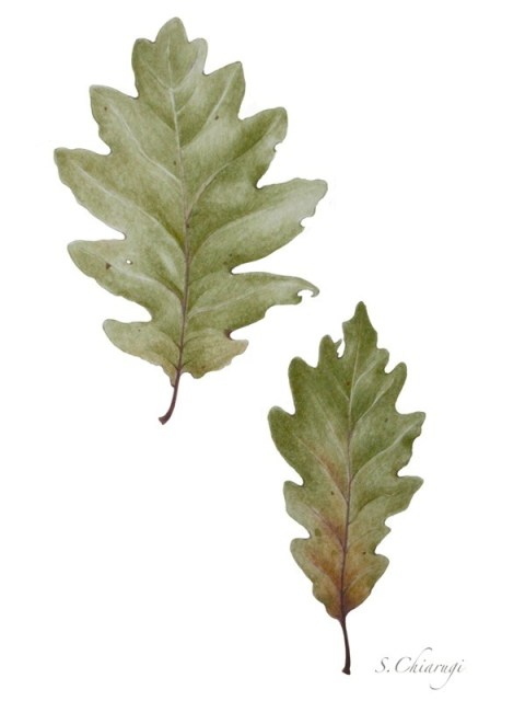 stampa oak leaf