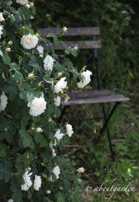 giardino rose