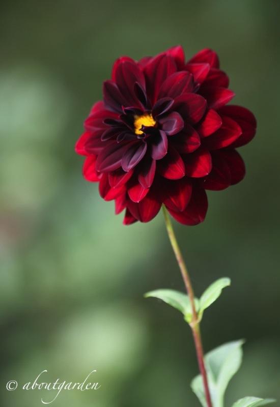 Dahlia 'Arabian Nigth'