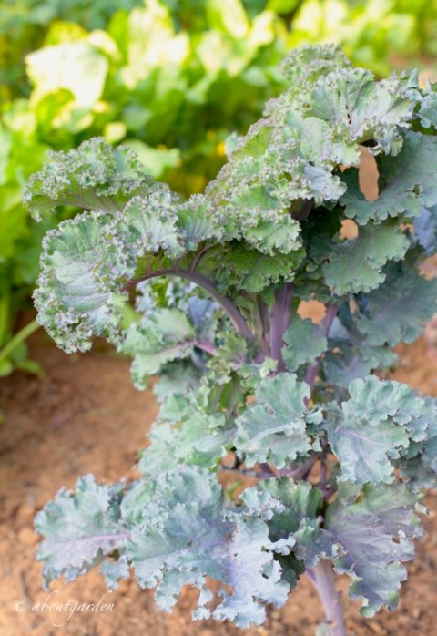 cavolo Kale 2