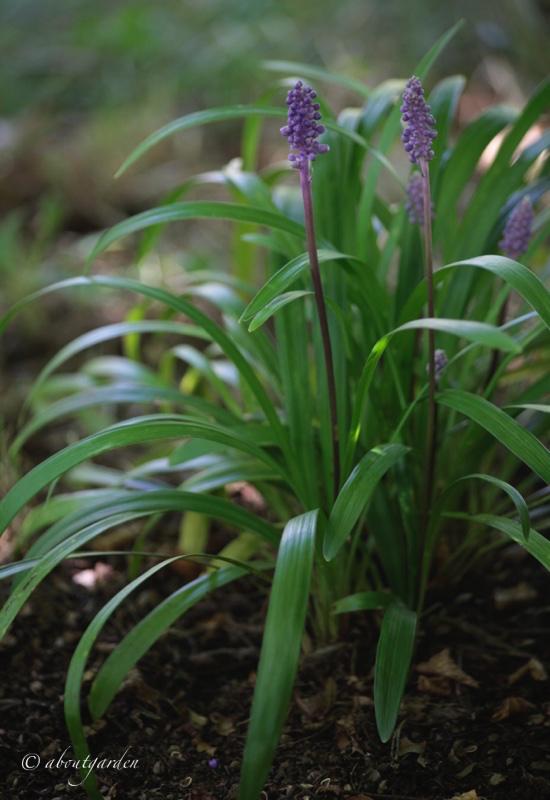 pianta-di-liriope-muscari