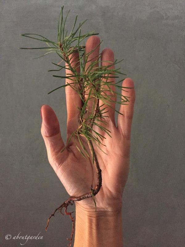 piccolo-pinus-nigra