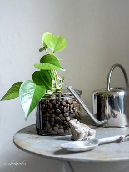 Coltivare potos in argilla espansa con idroponica