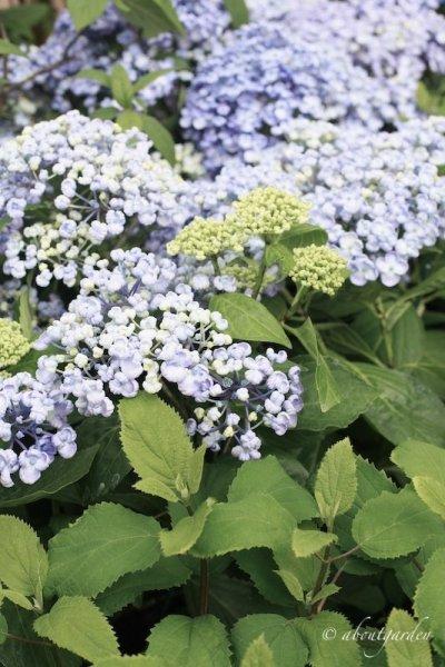 Hydrangea 'Ayesha' blu