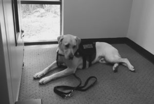 A Veteran's service dog waits for his owner while he is in the test room