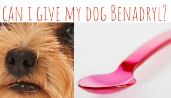 Is Benadryl safe for dogs? Yes - used right  | ABOUT MORKIES