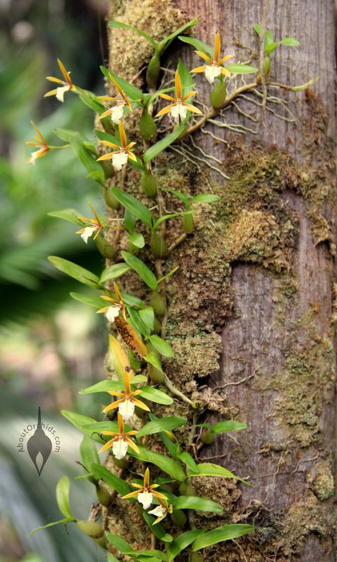 AboutOrchids  Blog Archive  Vertical Orchids