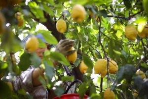 limoni di Sorrento coltivazione