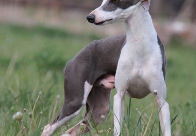 Italian Greyhound Puppies For Sale From Reputable Dog Breeders