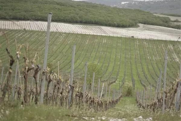 Виноградники Кубани увеличатся на 10%