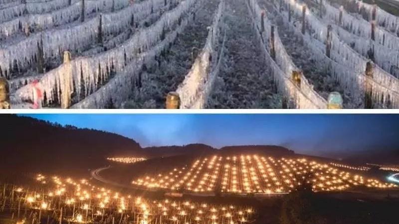 Заморозки во Франции погубили 80% урожая