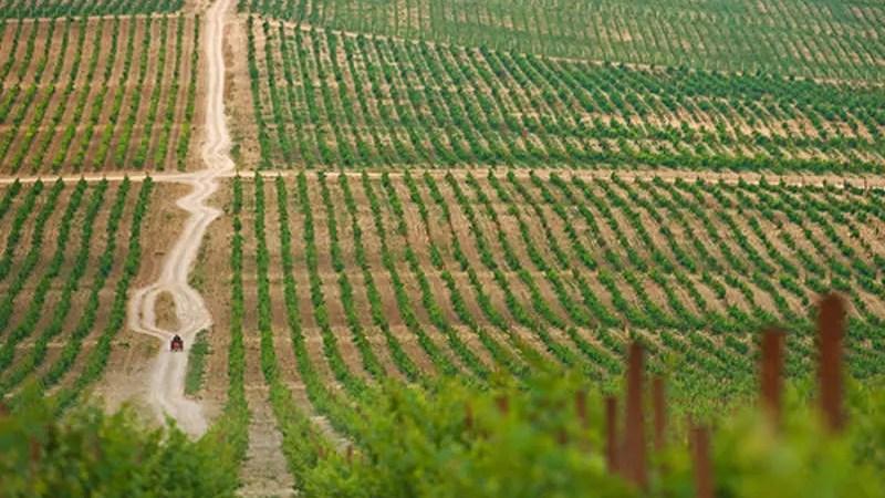 Площадь виноградников в России растет