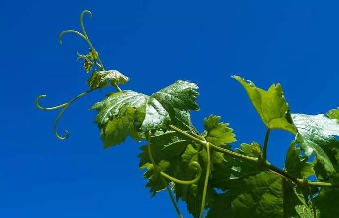 Во Франции производство вина упадет до рекордного минимума с 1945 года