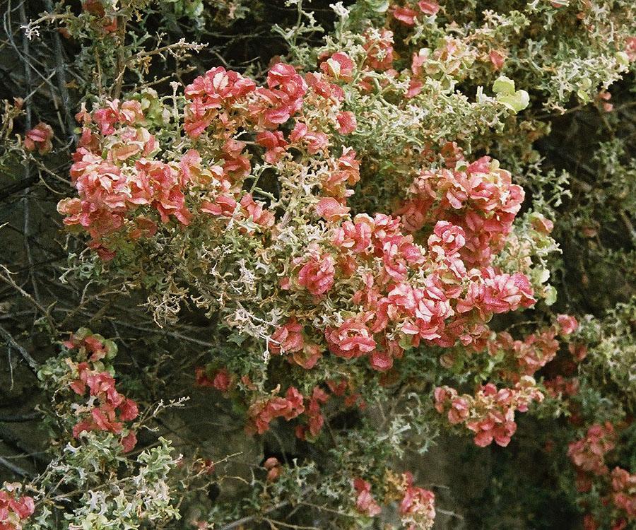arbustes grimpants persistants a fleurs