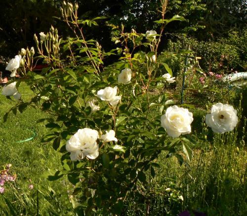 rosier buisson résistant aux maladies