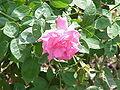 rosier grimpant floraison continue