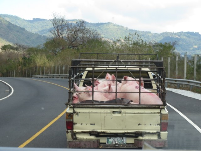 Poor piggies: even if they survive the highway ride they still have a zero to nil chance of having a happy ending.