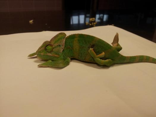 Cría de camaleón afectada por un cuadro grave de enfermedad ósea metabólica
