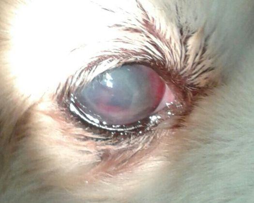 Aspecto del ojo de Kuki después de iniciado el tratamiento