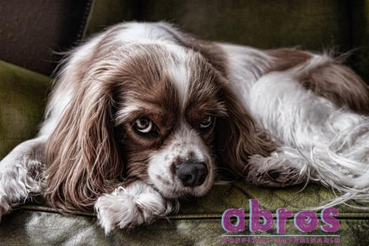 dog-2785066_1920 copiar