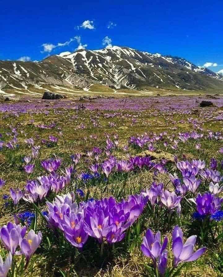 Crochi in fiore a Campo Imperatore