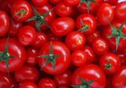 gmos-tomatoes-absolute knowledge