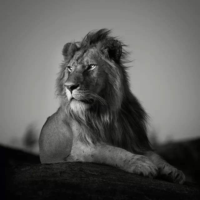 pekka jarventaus nomad lion