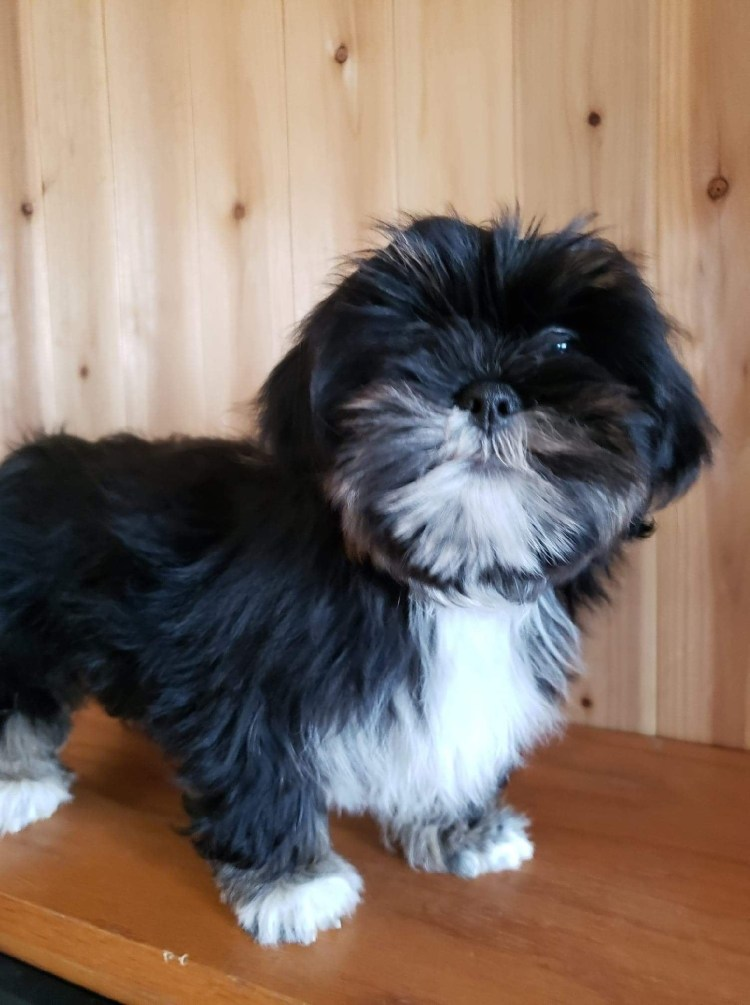 Black and white Lhasa Apso puppy