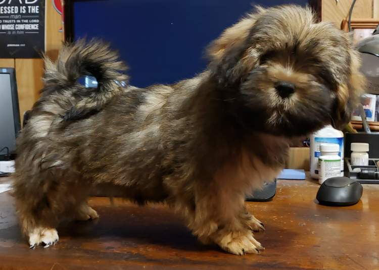 Grizzle Lhasa Apso puppy, training and house breaking the Lhasa Apso, the Lhasa Apso is an easy to train breed