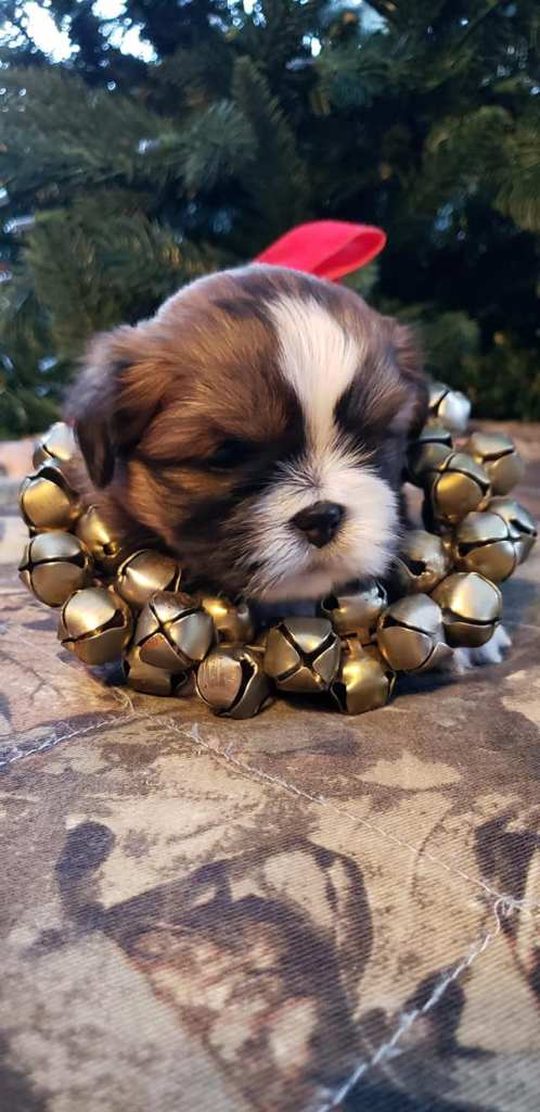 Lhasa Apso parti-color puppy red Christmas Bell collar.