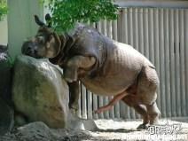 Rhinoceros Penis - Il pene del rinoceronte