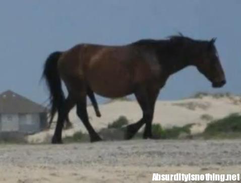 erezione del cavallo