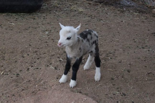 geep incrocio tra una capre e una pecora