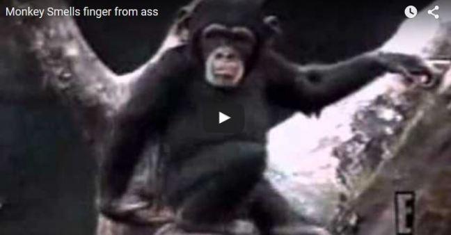 scimmia annusa dito sedere