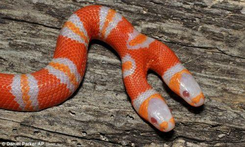 Serpente a due teste