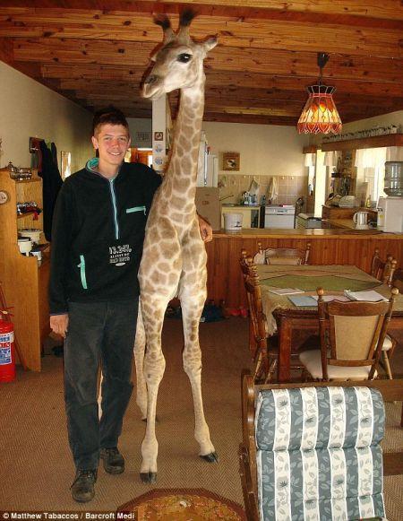 Fenne la giraffa casalinga