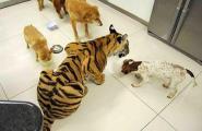 Enzo, la tigre domestica (3)