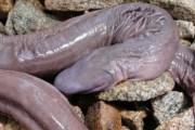 Il serpente che sembra un pene (3)