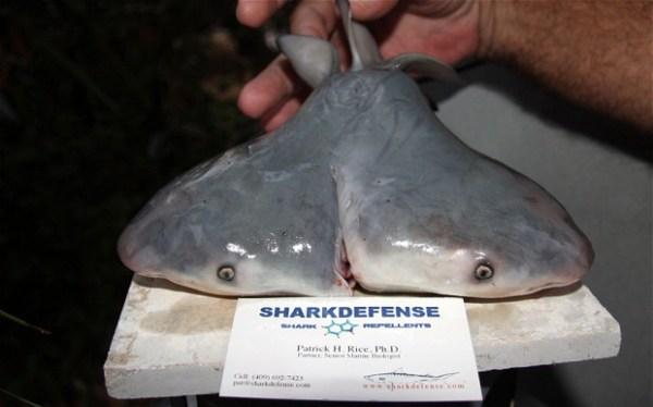 Trovato squalo a due teste nel Golfo del Messico (2)