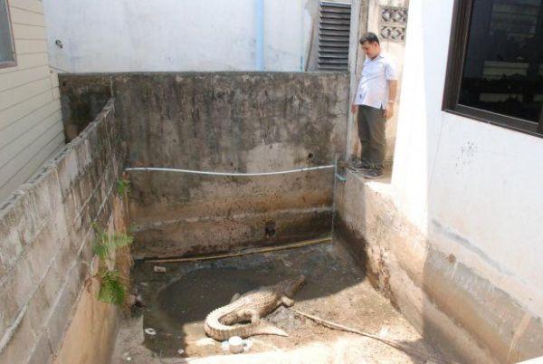 """Famiglia thailandese ha due coccodrilli come """"cani da guardia"""" (1)"""