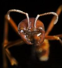 Donna tenuta sveglia da una colonia di formiche che suona il campanello