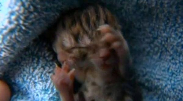 Raro gatto a due teste nato negli Stati Uniti