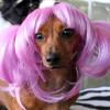 Parrucche per animali domestici (8)