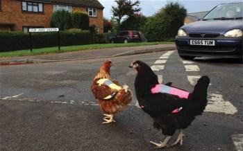 Giacche catarifrangenti... per polli che attraversano la strada (4)