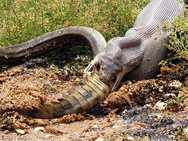 i serpenti hanno un pene