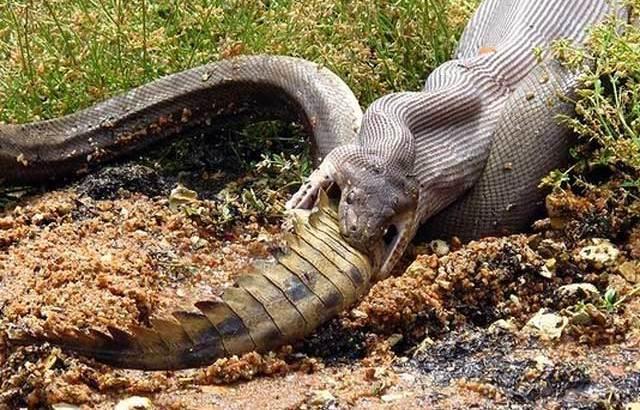 Australia: un serpente mangia un coccodrillo intero (2)